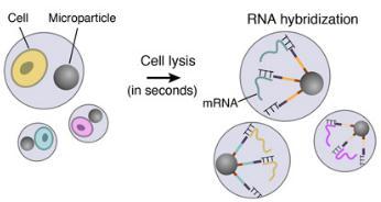 细胞裂解和RNA杂交