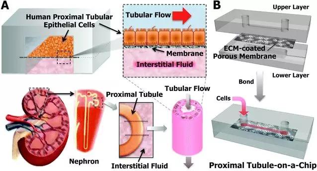 图1 PDMS仿生肾小管示意图