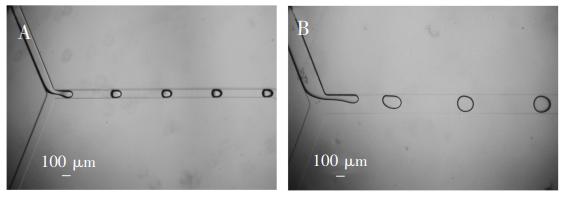 图4(A)100μm通道宽度生成的液滴;(B)200μm通道宽度生成的液滴