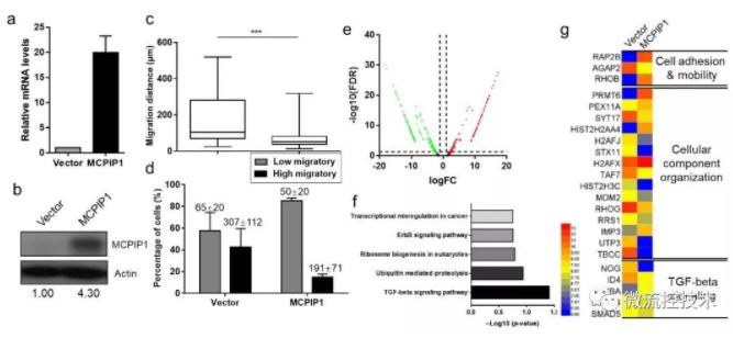 图 3 MCPIP1抑制单细胞迁移并且抑制TGF-beta通路